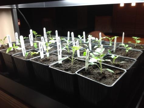 Plantjes geïnstalleerd op een vloeimat, onder de groeilamp