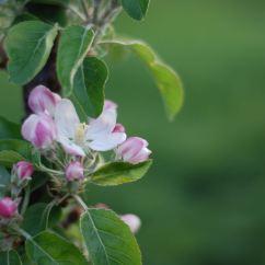 Mooie appelbloesems