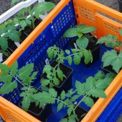 Tomaten en pepers naar de tunnelserre