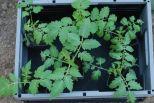 Tomaatjes in de serre gezet