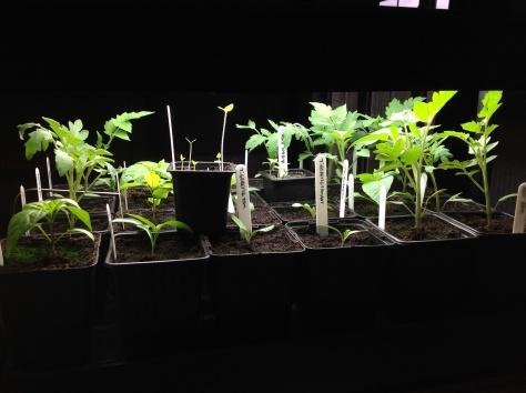 De tomaten en pepers groeien goed en maken al plaats voor een nieuwe lading Tigerella tomaatjes of was het nu Tigerette... Gestreepte tomaten dus