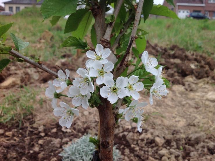 Kerselaar, de eerste bloemetjes