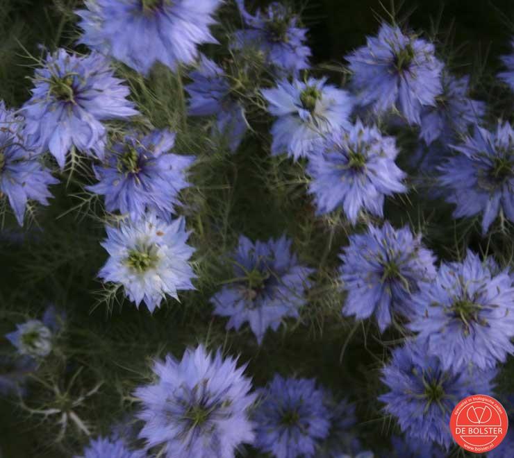 Nigella damascena of Juffertje in het groen. Kantachtige plant met lichtblauwe en witte bloemen in een krans van fijn groen met decoratieve zaaddozen.