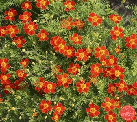 Het sterafrikaantje is een geliefd plantje voor de insecten. En de enkelvoudige bloem maakt het specialer dan de gekende afrikaantjes