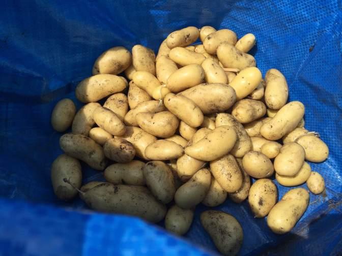 Mijn eigen primeur aardappels