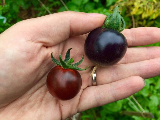 Blauwe tomaten zijn héérlijk (oeps)