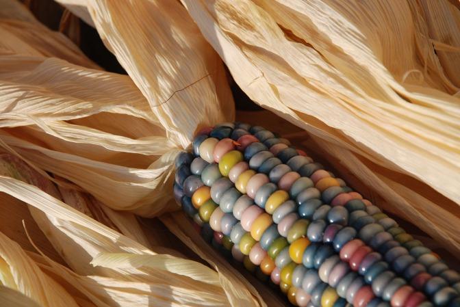 Glass gem corn, regenboog maïs – een klein succes!
