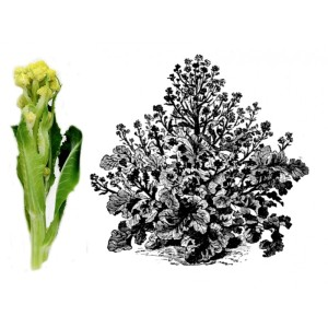 witte-winterbroccoli