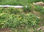 Mulchen met smeerwortel