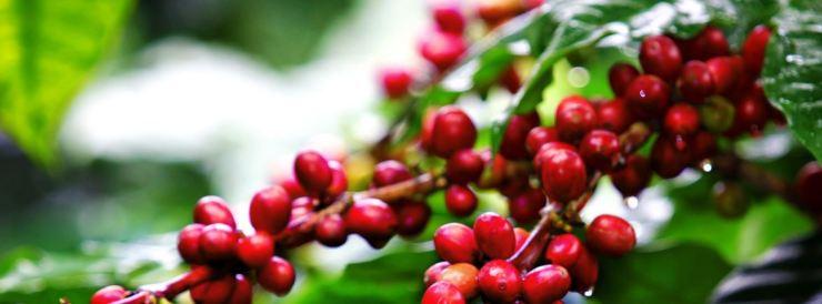2016-11-30-13_44_52-coffee-plant-google-zoeken